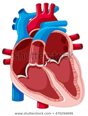 Wewnątrz schemat ludzi serca ilustracja zdrowia Zdjęcia stock © bluering