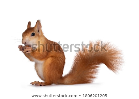 Squirrel Eating Hazelnut Stock photo © FOTOYOU