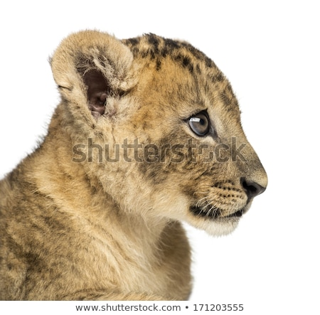 Oldal profil oroszlán medvebocs park Dél-Afrika Stock fotó © simoneeman