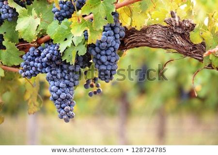 vörösbor · szőlő · növekvő · öreg · szőlőtőke · közelkép - stock fotó © yatsenko