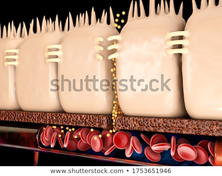 Gastrointestinal system small intestine anatomy Stock photo © Tefi