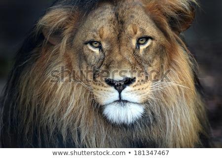 Közelkép nagy férfi oroszlán fű központi Stock fotó © simoneeman
