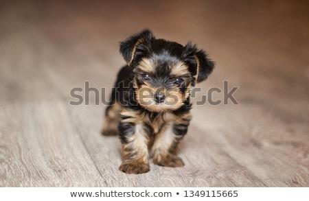 Puppy yorkshire terriër beneden tabel natuur Stockfoto © cynoclub