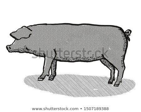 Stock photo: Large Black Pig Breed Cartoon Retro Drawing