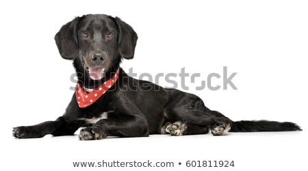 An adorable mixed breed dog with red polka dot scarf Stock photo © vauvau