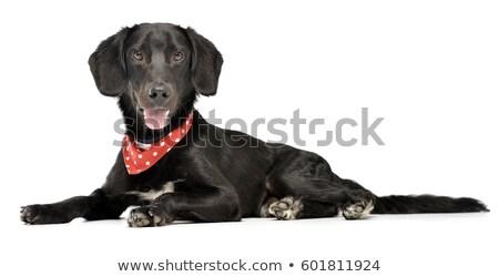 собака · белый · бык · счастливым · цвета - Сток-фото © vauvau