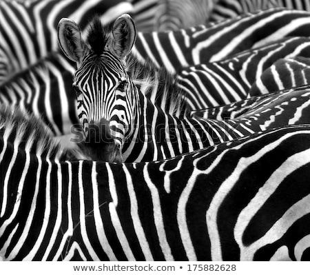 Zebra nyáj Serengeti Tanzánia Afrika Stock fotó © photoblueice