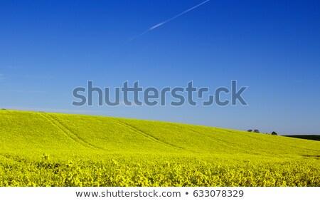sarı · alan · yağ · tohum · erken - stok fotoğraf © mikdam