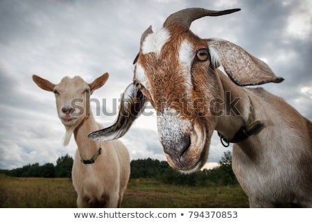Kecske fehér mögött kerítés toll állat Stock fotó © chrisbradshaw