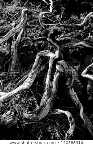 Dried branches in La palma Caldera de Taburiente Stock photo © lunamarina