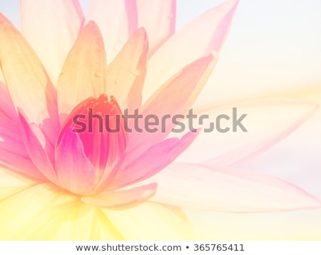 White lotus close up Stock photo © snyfer