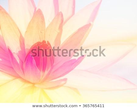 white lotus close up stock photo © snyfer