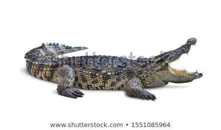 Krokodil kő szem természet zöld száj Stock fotó © kawing921