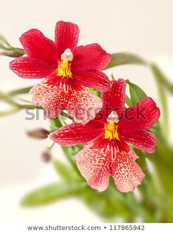lila · rózsaszín · orchidea · virág · izolált · közelkép - stock fotó © stocker