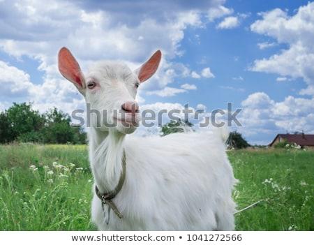 Biały koza zielone łące trawy lata Zdjęcia stock © ryhor