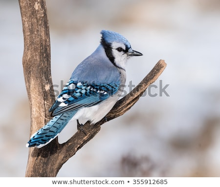 Blue Jay in a Tree stock photo © jillyafah