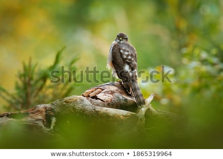hawk sitting on a tree stump isolated stock photo © oleksandro