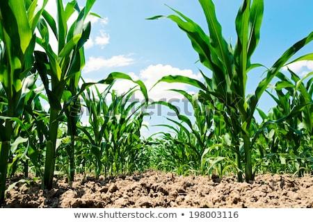 gmo science in corn field stock photo © stevanovicigor