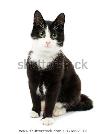 Siyah beyaz kediler boş kart kedi imzalamak Stok fotoğraf © boroda
