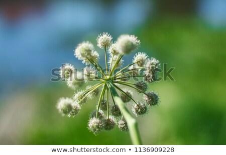 Angelica Planı Yakın Çekim Stok fotoğraf © Fanfo