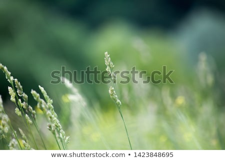 Green grass. Soft focus Stock photo © H2O