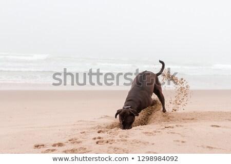 ブラウン · ラブラドル·レトリーバー犬 · 白 · 演奏 · スタジオ · ボール - ストックフォト © dariazu