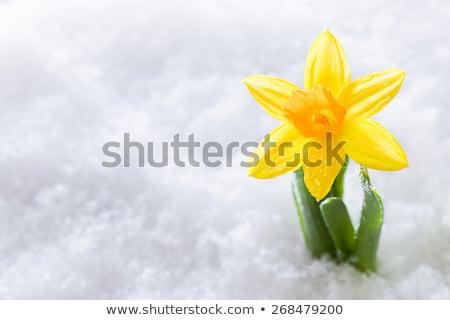crocus flower growing form snow spring start stock photo © photocreo