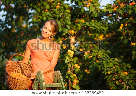 pretty young woman picking apricots lit by warm summer evening stock photo © lightpoet