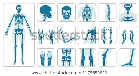 Skeleton of the Foot Stock photo © bluering
