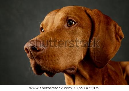 портрет · темно · печально · голову · животного - Сток-фото © vauvau
