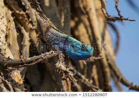 Southern tree agama on a branch. Stock photo © simoneeman