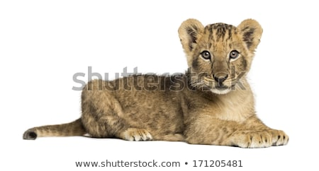 oroszlán · medvebocs · lefelé · néz · park · Dél-Afrika · természet - stock fotó © simoneeman