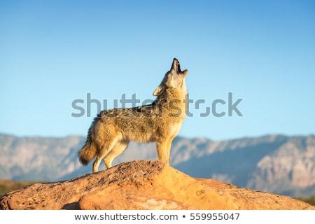 Coyote Stock photo © brm1949