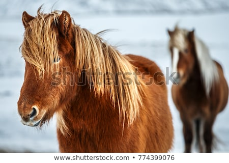 Two Icelandic horses in wintertime Stock photo © kb-photodesign