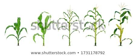Mais impianti crescita coltivato agricola campo Foto d'archivio © stevanovicigor