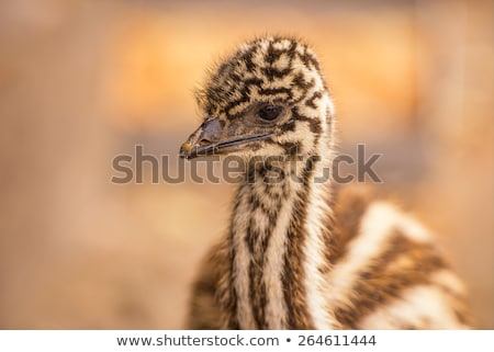 Stock photo: Emu (Dromaius novaehollandiae)