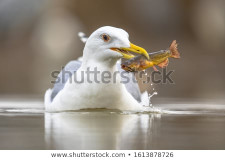 caspian gull in shallow waters Stock photo © taviphoto