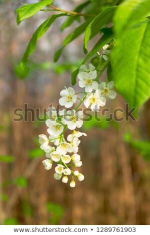 White flowers of bird-cherry tree and green leaves. Bird cherry blooms Stock photo © orensila