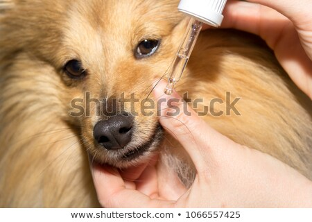 young shetland dog and chihuahua Stock photo © cynoclub