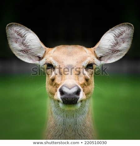 Hunter face to face with a deer Stock photo © IS2