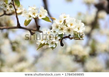 Armut çiçek makro görmek beyaz çiçekler ağaç Stok fotoğraf © Pozn
