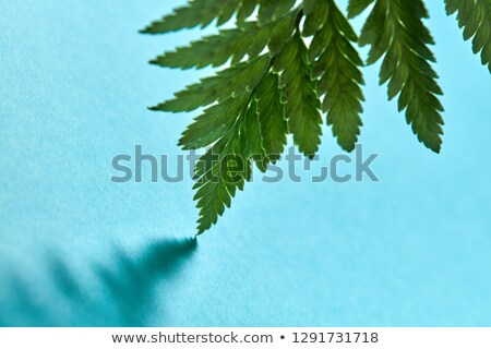 macro photo of fresh fern foliage with reflection of shadows on a blue background with copy space stock photo © artjazz