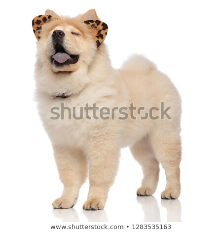 funny chow chow wearing leopard ears panting with eyes closed Stock photo © feedough