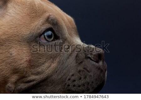 Kék amerikai kék szemek felfelé néz kutya szemek Stock fotó © feedough