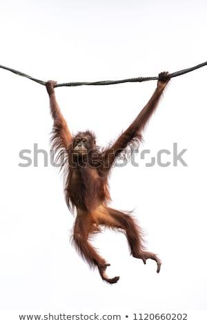Scimmia swing illustrazione molti scimmie natura Foto d'archivio © colematt