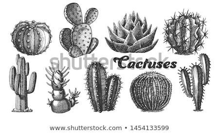 Dekoratív kaktusz kézzel rajzolt vektor hosszú éles Stock fotó © pikepicture