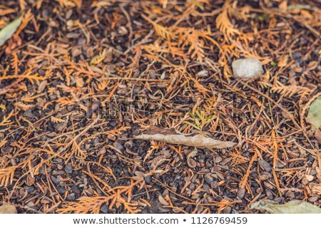 針 黄色 秋 森林 ツリー 木材 ストックフォト © galitskaya