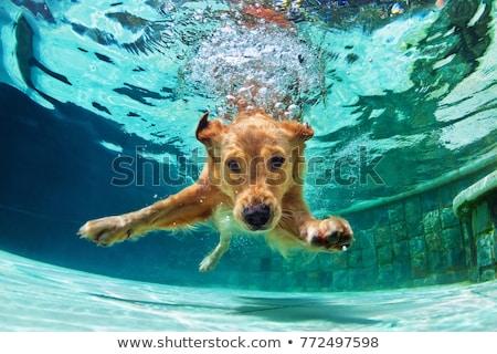 kutya · úszás · bot · citromsárga · labor · úszik - stock fotó © simply