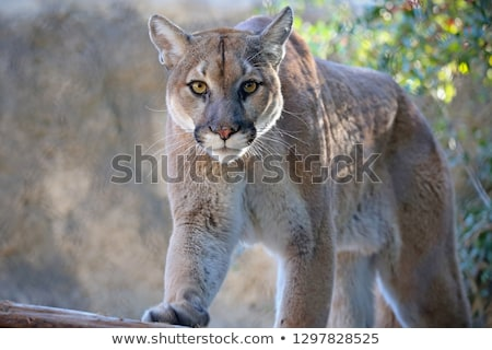 Mountain Lion Stock photo © macropixel