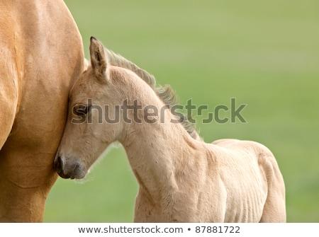 ló · kanca · Saskatchewan · mező · gyönyörű - stock fotó © pictureguy